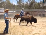 Bison campdraft in Stanthorpe