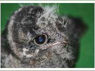 White throated nightjar