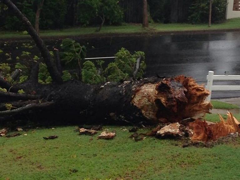 A pine tree crashed down in Kent St, Gladstone out the front of The Pines apartment complex. Photo: Liam Kearney.