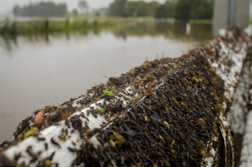 Thousands of spiders, geckos, grasshoppers, earwigs, cockroaches, beetles and crickets sought refuge on the rails of a low lying bridge on Reynolds Road during minor flooding in Casino.