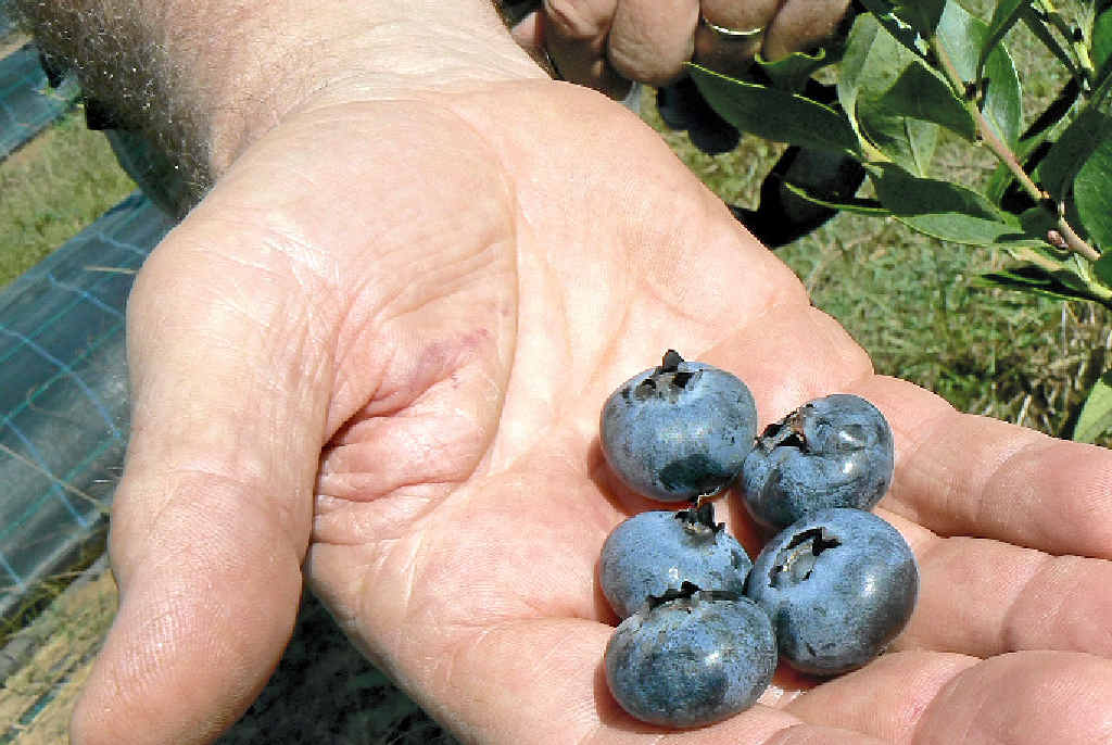 BERRY GOOD: Blueberries grown locally are your best bet.