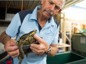Rare Bellinger River turtles battle illness