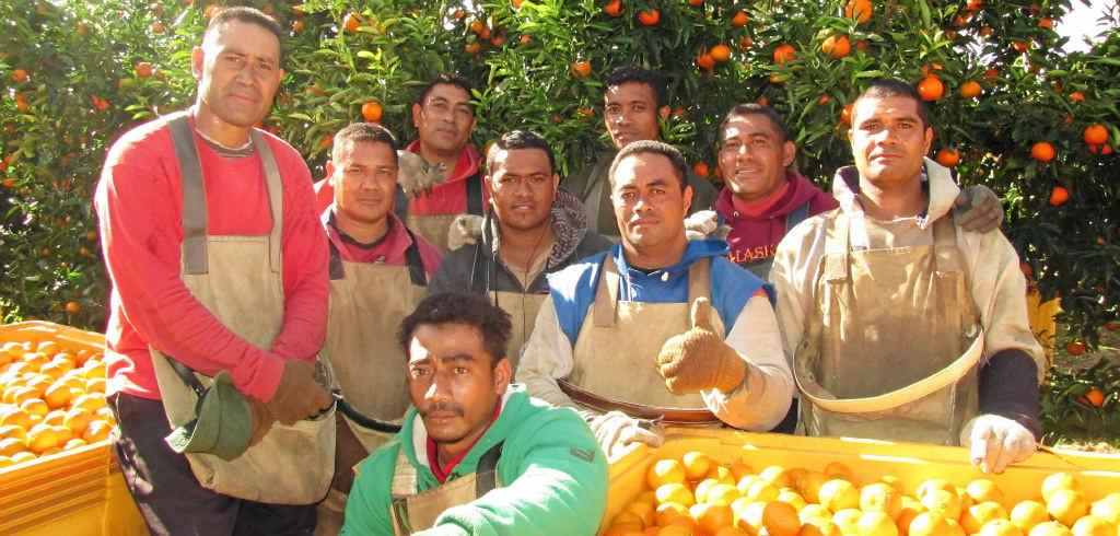 IRONBARK HARVEST: These Tongan men are harvesting Ironbark Citrus' mandarins as part of the Pacific Island Seasonal Workers Scheme.