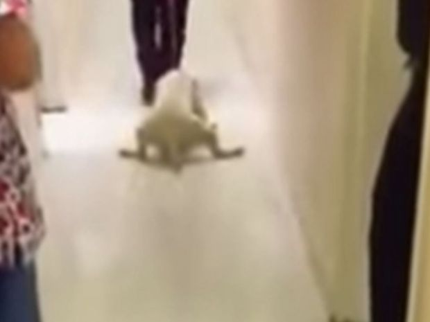 Mia is dragged along the floor of the animal shelter