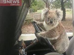 Teen busts koala trying to drive family car