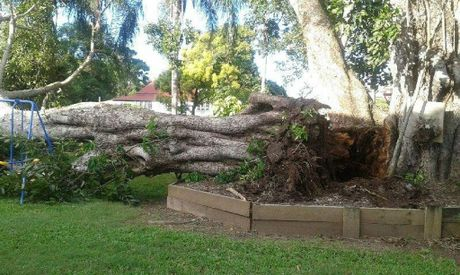 The roots of the giant fig tree were exposed after it fell on Wednesday.