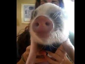 Tiny pet pig enjoys eating chips