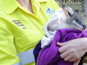 Central Queensland wildlife carers busy after Cyclone Marcia