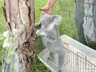 Rescued koalas find their new sanctuary