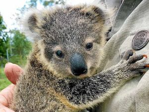 Koala petition opposes route for Pacific Highway upgrade
