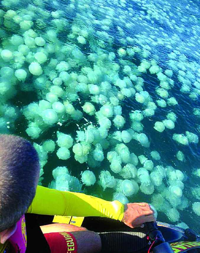 FLOATING MASS: Thousands of jellyfish are making their way north.