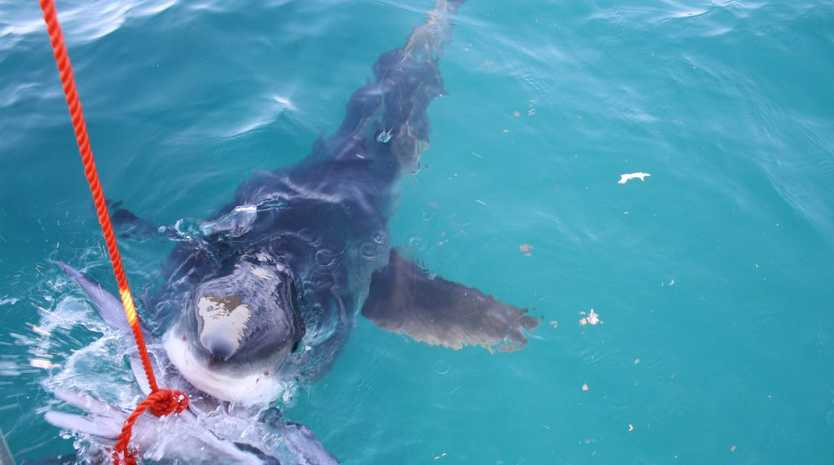 File photo from Robbie Graham: The 12-foot Great White takes a bite of the tuna head Mr Graham was using to attract bait fish.