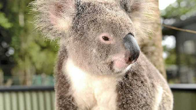 Page MP Kevin Hogan has announced funding for the Lismore koala care centre.