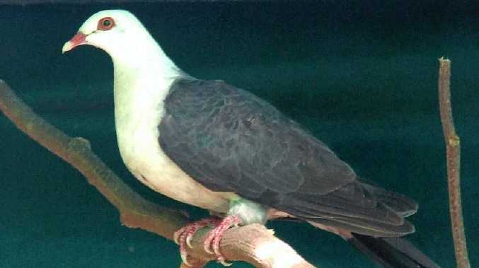LUCKY ESCAPE: This white-headed pigeon had no broken bones or fractures after flying into a window.