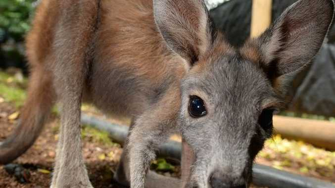 Jack, an ophaned wallaroo handed in to keepers at Cooberie Park for care until it can be released back into the wild when it is a little older. Photo: Chris Ison / The Morning Bulletin