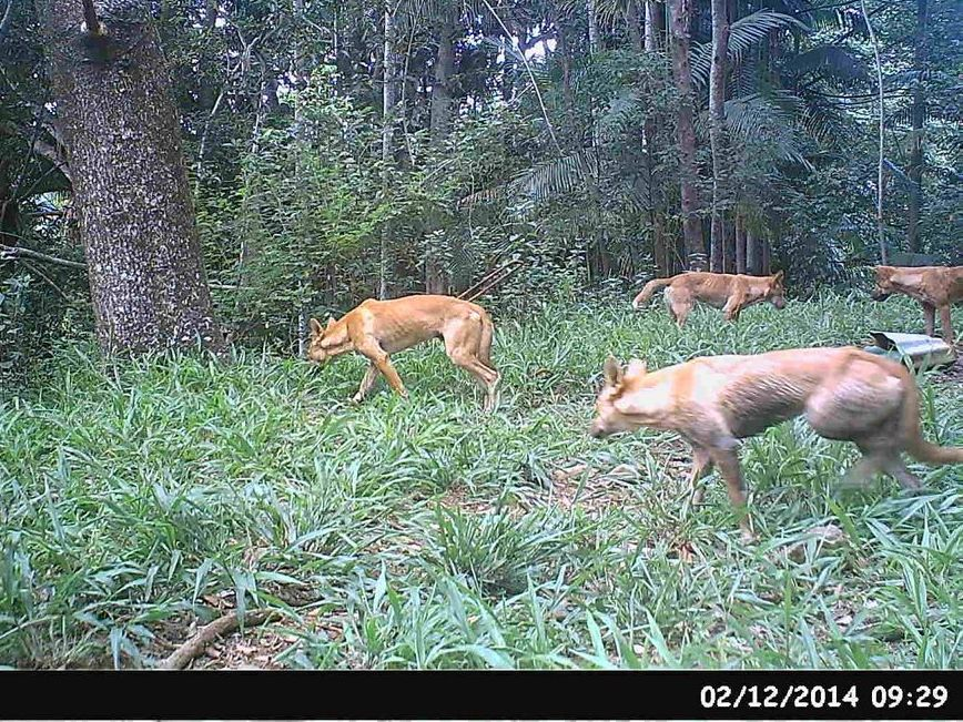 This picture of wild dogs was taken using a motion sensor camera on Nick Cropp's property in Bilambil.