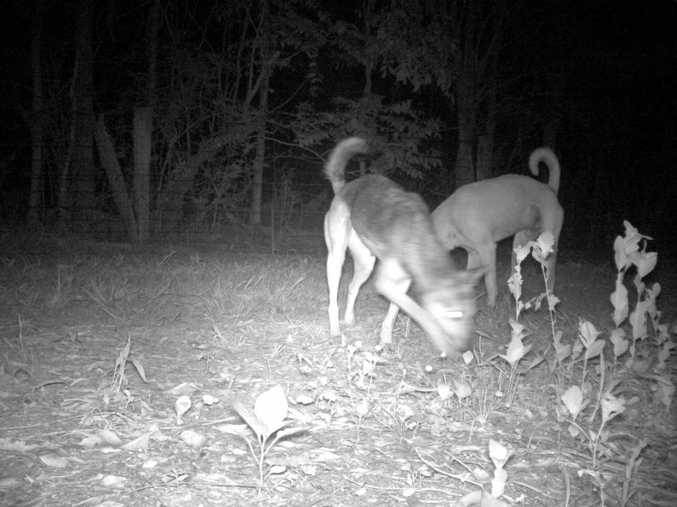 Wild dogs feed at a bait station at Tuckombil.