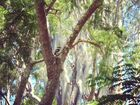 Kookaburra in my yard, Lismore.