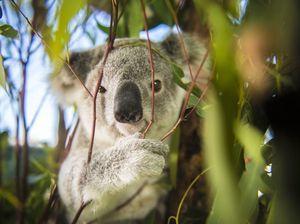 Safe Haven koala Greg released after 10 months