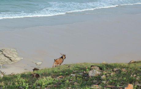 Feral goats graze along barren ridgeline on the East coast of Great Keppel Island.
