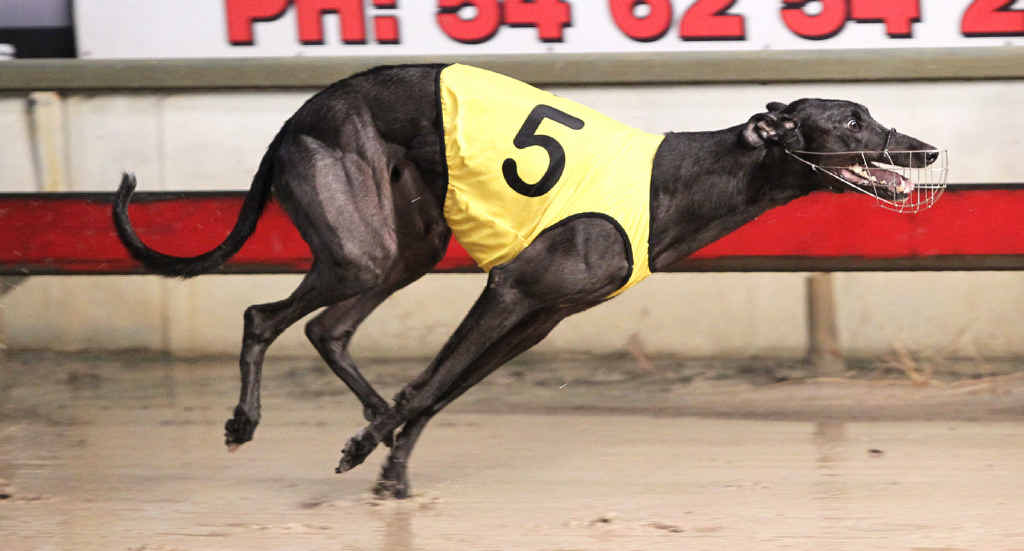 DASHING EFFORT: Waikerie Warrior strides to victory in last Saturday night's auction series race at the Ipswich Showgrounds.