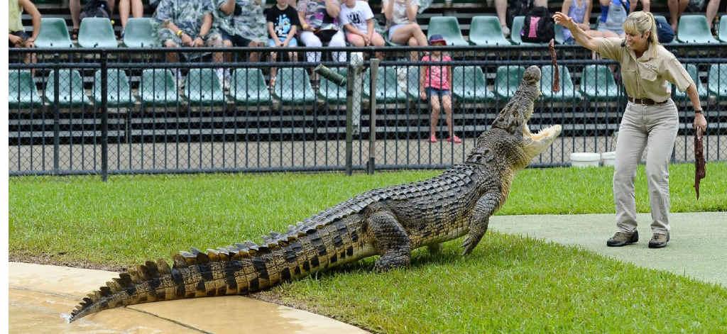 DANGEROUS PURSUIT: Terri Irwin feeds a crocodile at the Australia Zoo Crocoseum.