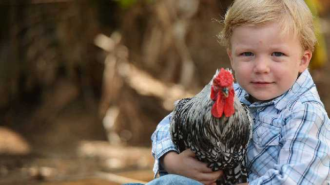 3 year old Mackenzie Hargreaves of Ross Creek loves to be amongst his mothers chickens. Mackenzie is holding a Silver Laced Wyandotte rooster, his mother Odette Hargreaves breeds chickens for showing and some of her chickens are being prepared for the 3 annual pure bred auction to be held at Gympie Showgrounds this Sunday, March 29 from 9.30am. Photo Greg Miller / Gympie Times