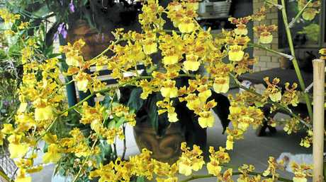 DISPLAY OF BLOOMS: Don't miss the stunning Orchid Show in Caloundra, featuring plants from nine orchid societies from Gympie to Bribie Island.