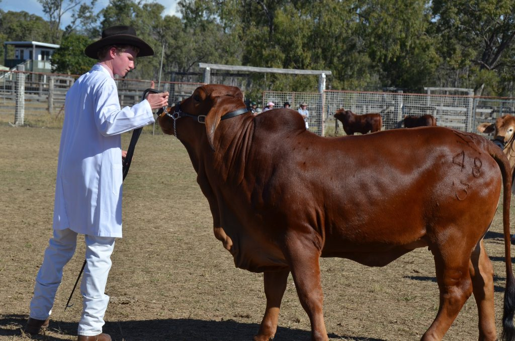 YOUNG JUDGE: Simon Kinbacher, 16, of Garthowen Brahmans near Biggenden will judge the prime cattle at the 2015 Gayndah Show. In 2014, Simon became the Burnett Sub-chamber's stud cattle young judge (pictured). Photo Shirley Way / Central & North Burnett Times