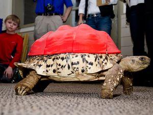 Injured tortoise gets a custom-made 3D-printed shell