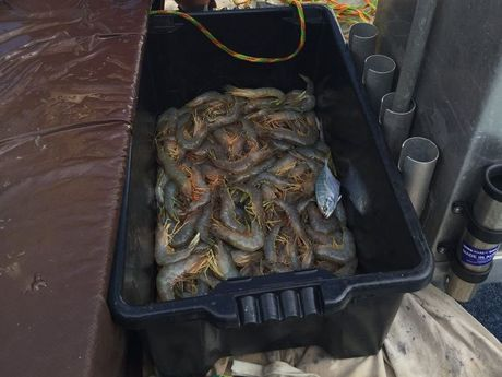 Prawns have a maximum possession limit of 10 litres and cannot be possessed without their heads or with any other part removed unless it is for immediate consumption.
