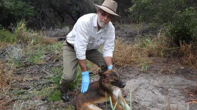 Neil Hing from the North Coast Local Land Services with the most recent dog trapped and destroyed on Wednesday.