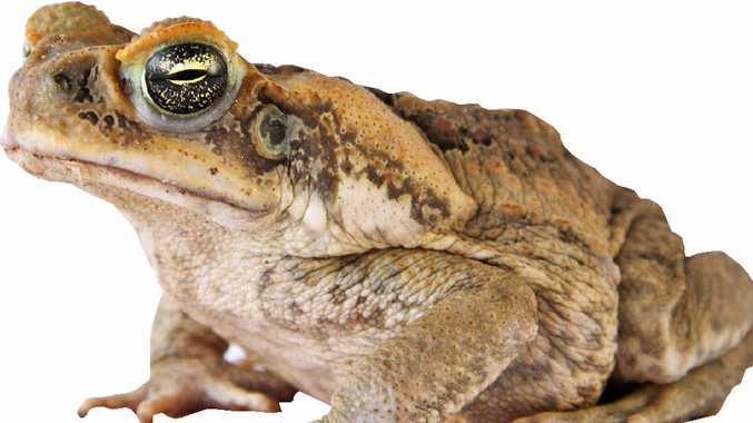 PEST OR HERO? Could cane toads help fight cancer.