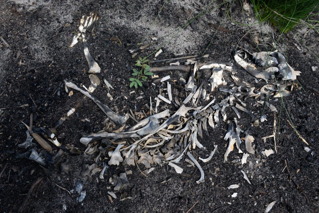 GRAVEYARD: The remains of a dead greyhound in the Vera Scarth-Johnson Wildflower Reserve near Coonarr Beach. Photo: Mike Knott / NewsMail