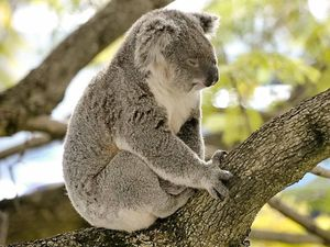 Concerns over koala protection