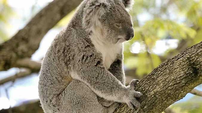 Koalas deserve better.