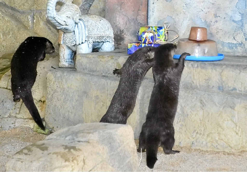 WHAT'S THIS? Sealife Mooloolaba's curious otters inspect their icy treat at their 14th birthday party.