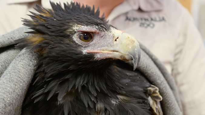 Brady the wedge-tailed eagle is being cared for at Australia Zoo Wildlife Hospital.