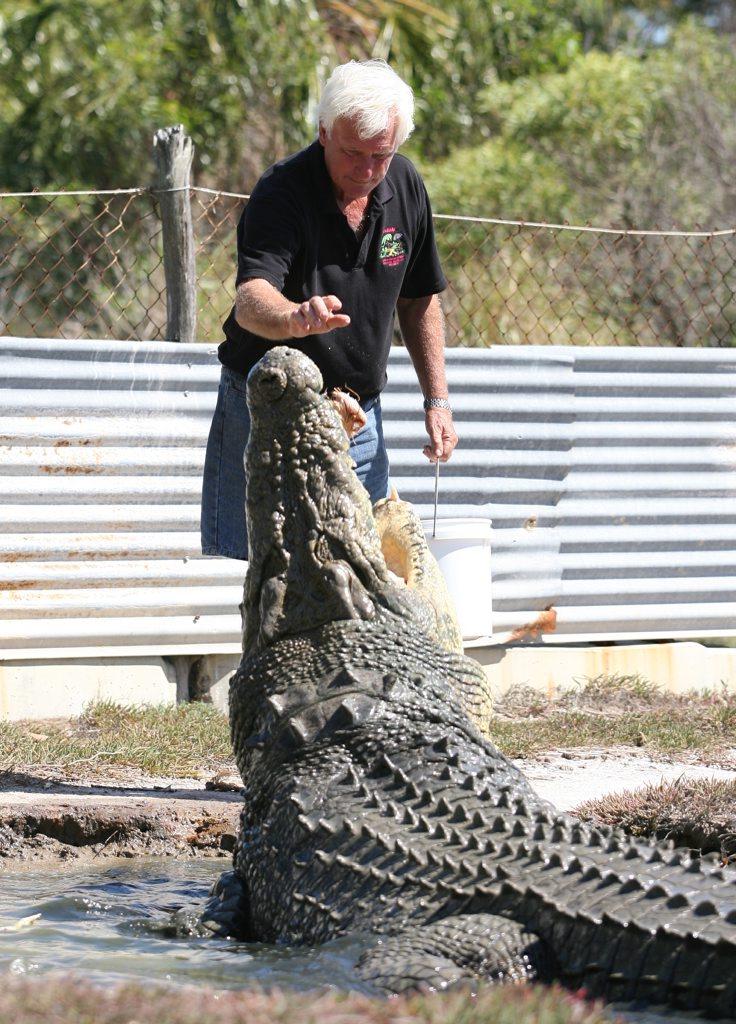 John Lever feeding one of his large crocodiles at  Koorana Crocodile Farm. Photo: Chris Ison / The Morning Bulletin.