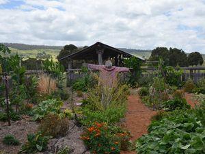 Gardening with bullocks