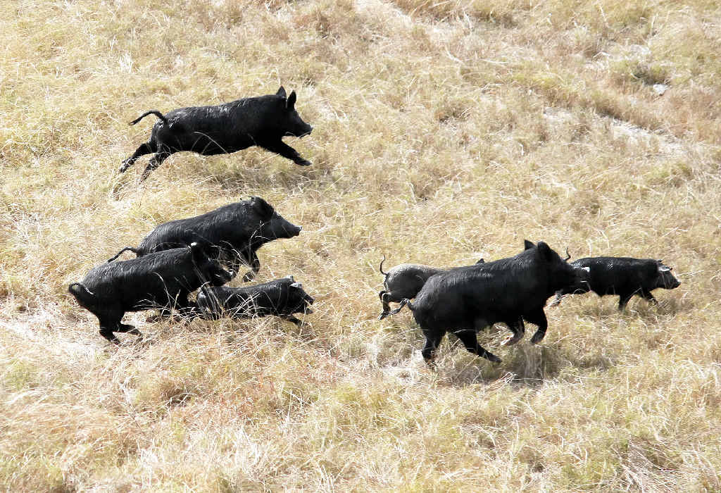 MENACE: Controlling wild pigs is just one of many issues facing Junction View farmers.