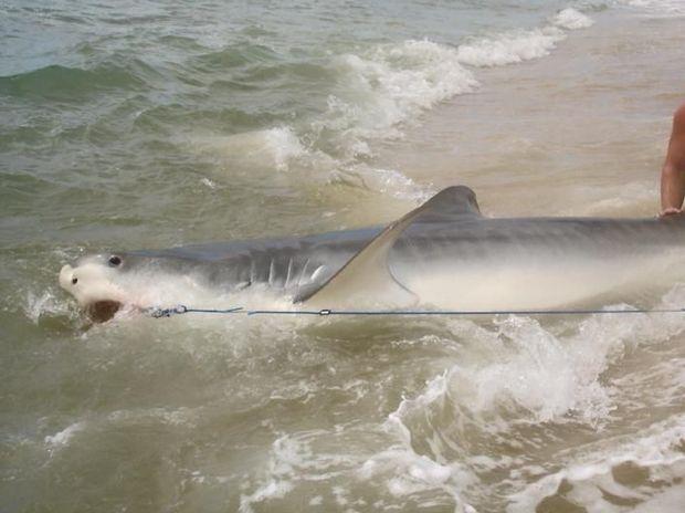 Max Muggeridge, 19, of Coomera reels in a 4m tiger shark before setting it free.