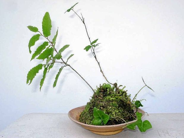 The author's modest, but earnest and benevolent, attempt at the Japanese art of bonsai.
