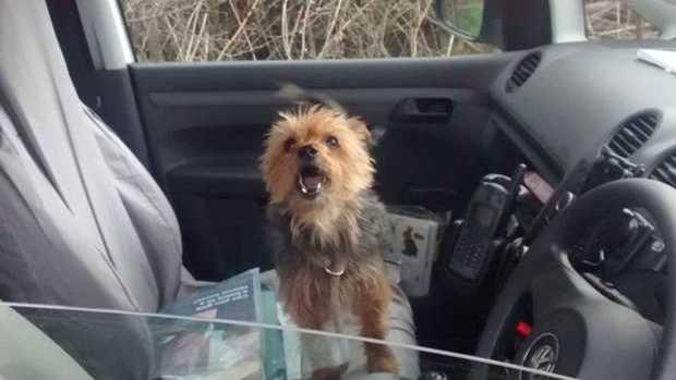 Alfie the Yorkshire Terrier