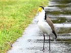 A masked lapwing.