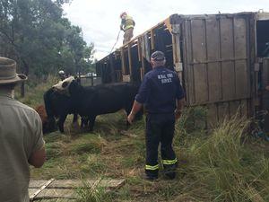 Woman hurt in highway cattle truck rollover