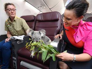 Koalas get first class treatment then off to Singapore