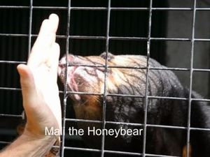 Sunbear Eats Honey for Birthday