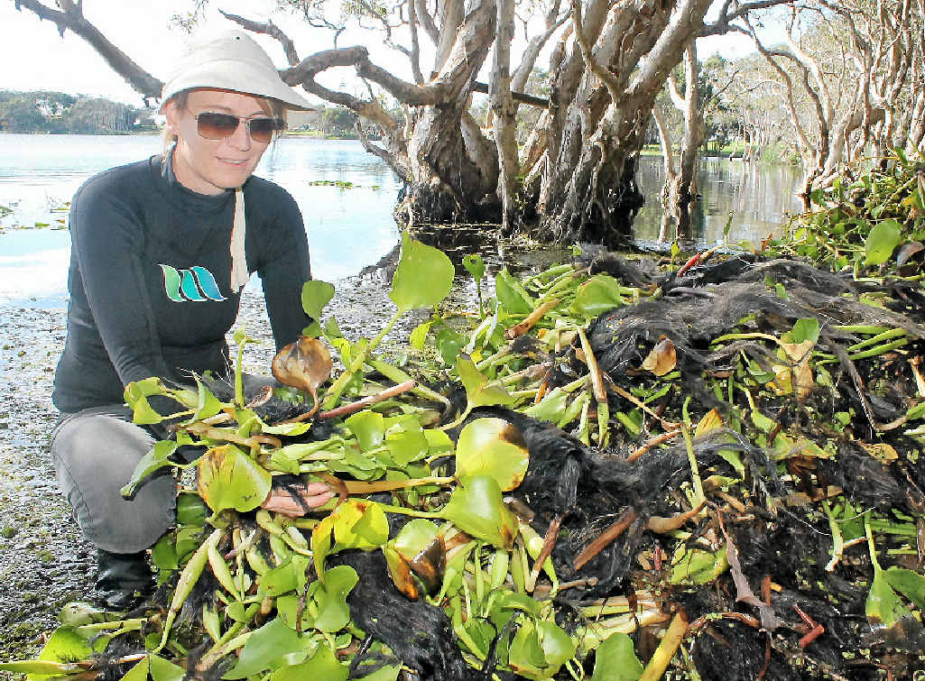 LAKE SAVED: Lennox Head landcarer Kelly Saunderson with just some of the water hyacinth pulled from Lake Ainsworth.