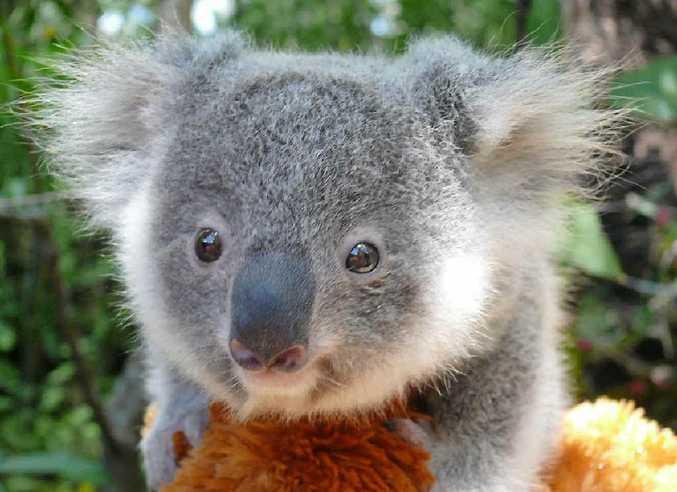 Four koalas are on their way to Singapore.